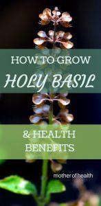 how to grow holy basil