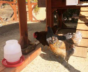 how to raise chickens for beginners